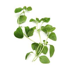 oregano-herb-fresh
