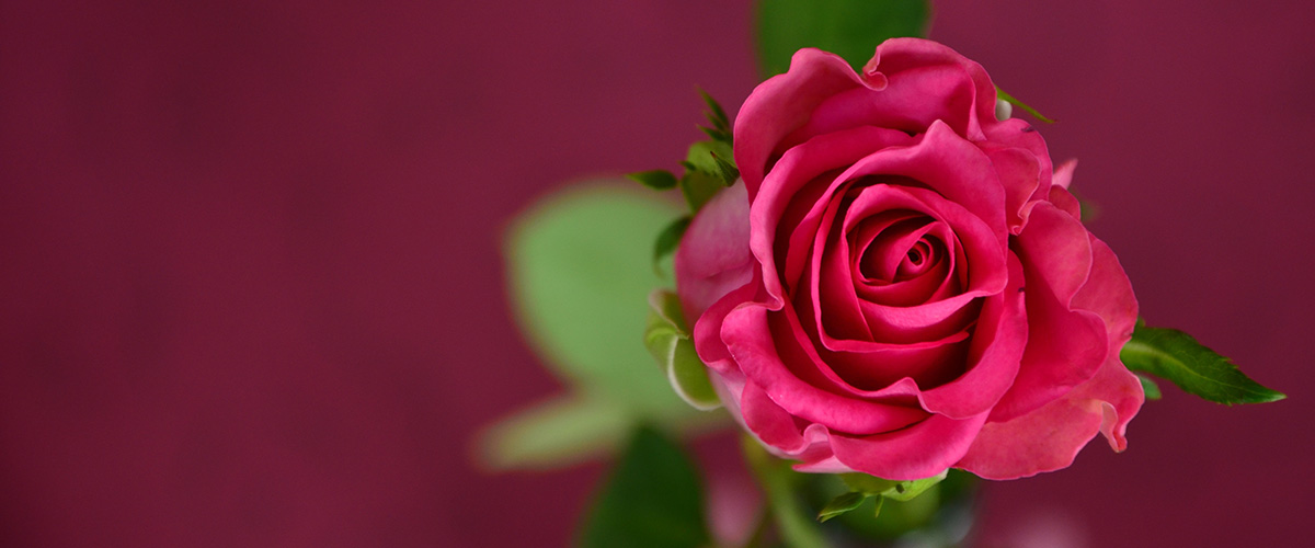 rose-flower-valentines1200x500
