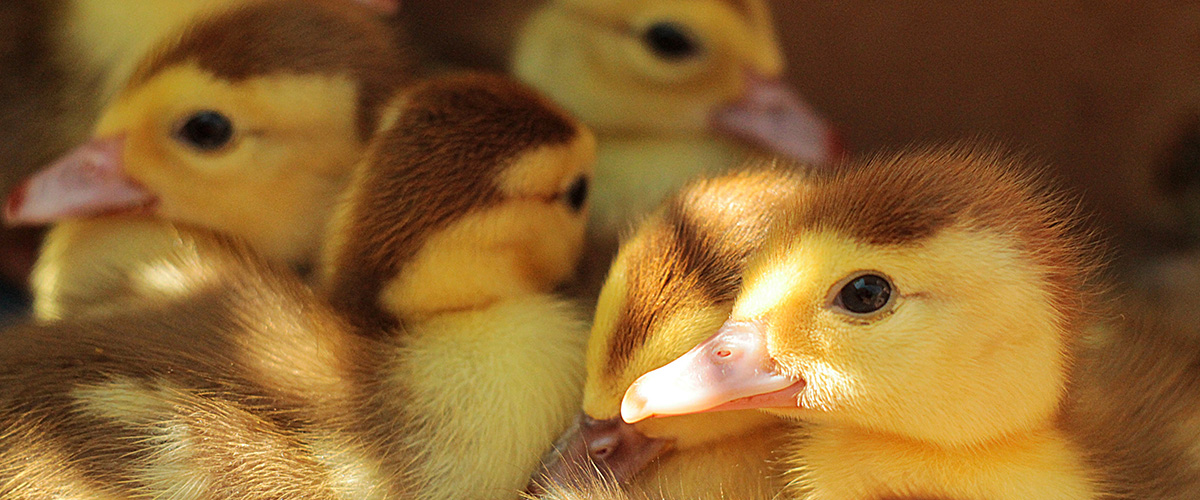ducklings-1200x500px