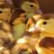 ducklings-easter-1200px