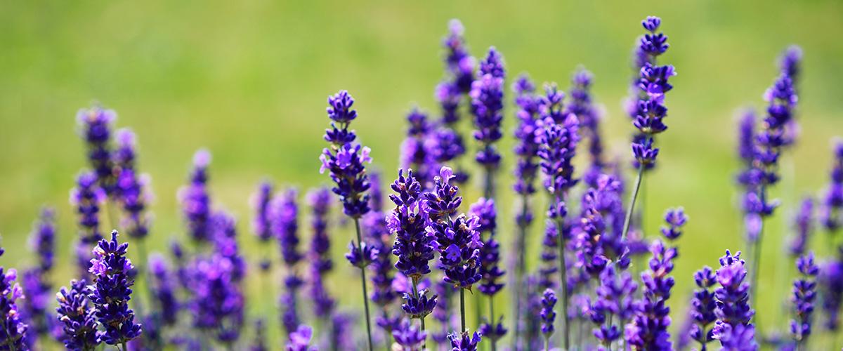 lavender-field-green-1200x500px