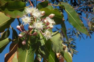 eucalyptus-gum-leaves-1200x800px