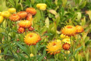 helichrysum-flower1-1200x800px