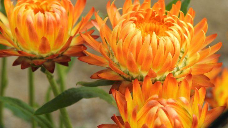 helichrysum-flower2-1200x800px