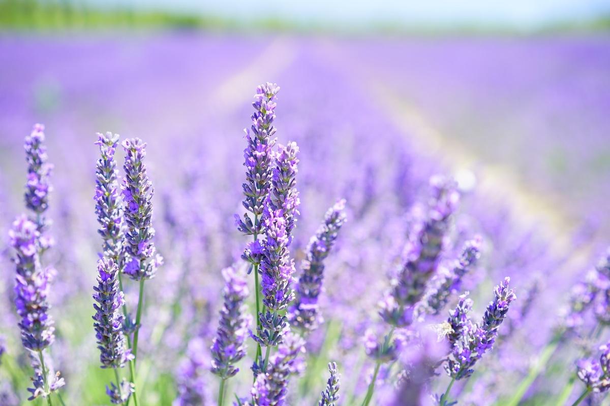 lavender-field2-1200x800px