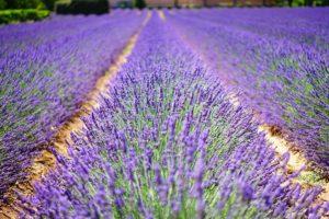 lavender-field3-1200x800px