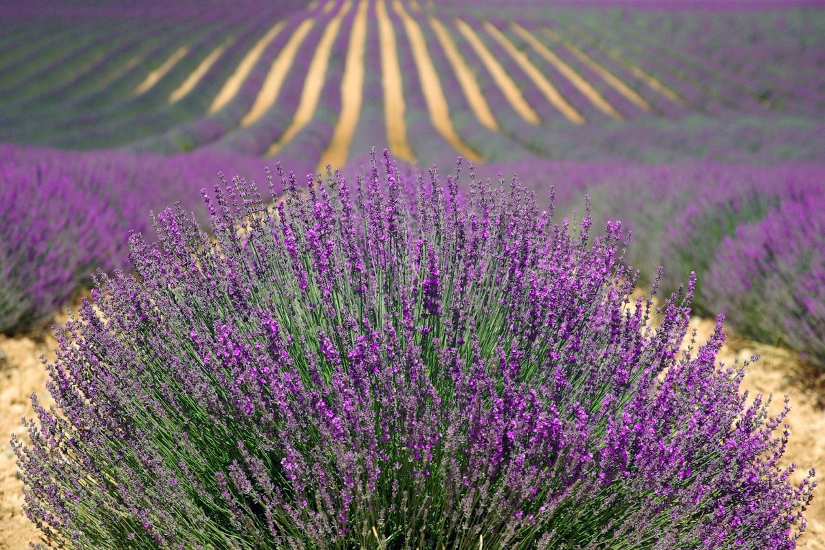 lavender-field4-1200x800px