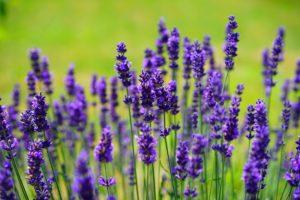 lavender-flowers-1200x800px