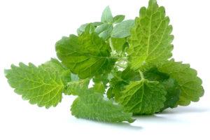 melissa-leaves-plant3-1200x800px