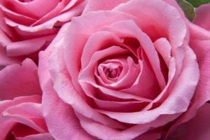 pink-rose-1200x800px