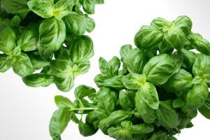 basil-plant-fresh-1200x800px