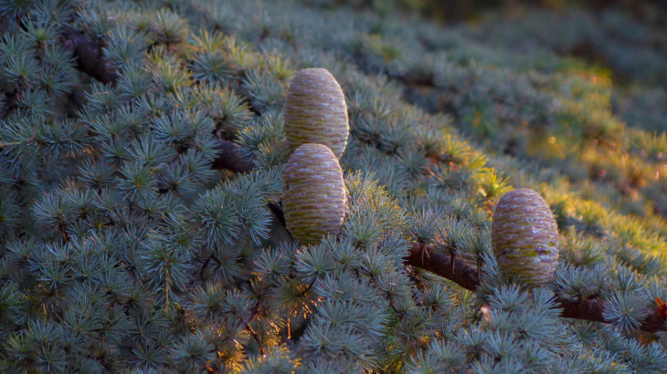atlas-cedarwood-cones-needles