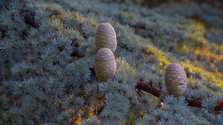 atlas-cedarwood-cones-needles