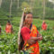 women-tea-plantation